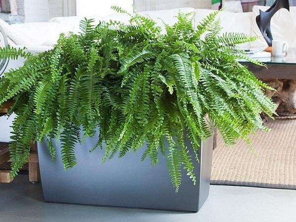 Cây dương xỉ chậu trồng xi măng nhẹ chữ nhật