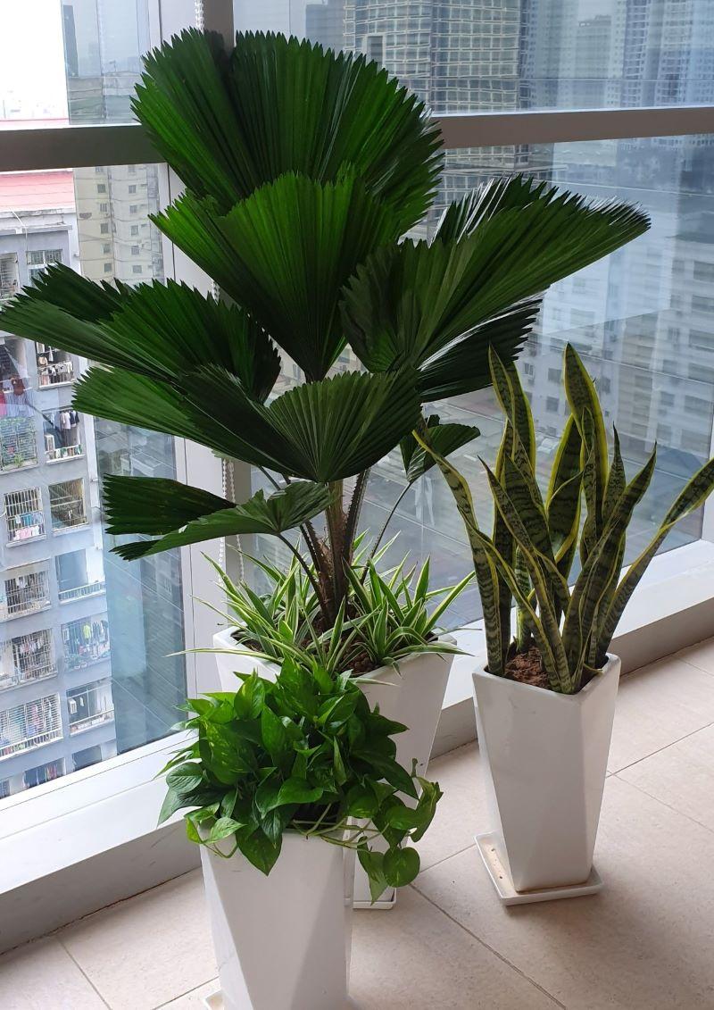 Cây cau Hawaii, cây lưỡi hổ, trầu bà trồng chậu xi măng kiểu vót ly rất đẹp
