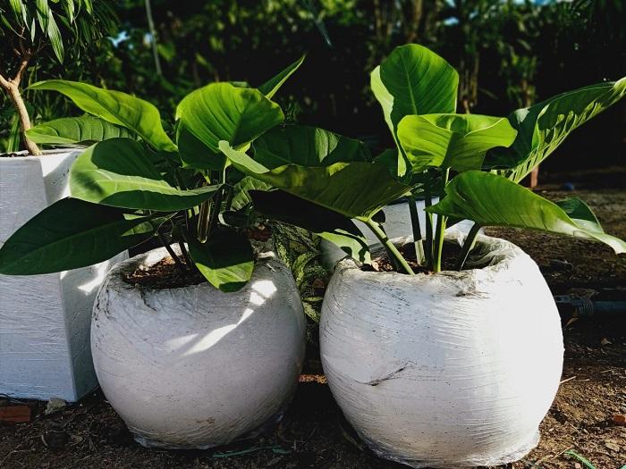 Ứng dụng chậu xi măng nhẹ trái bóng trồng các loại cây có chiều cao trung bình